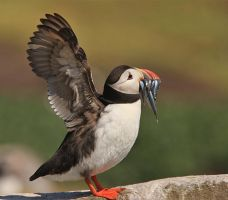 I Surrender - Atlantic Puffin by Jamie-MacArthur