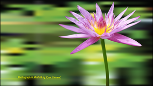 Lonely Lotus by Koen-Edward