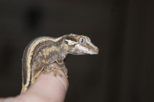 Thumb-Gecko Pt.II by Gecko-Girl