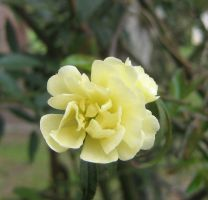 yellow rosaceae 08 by CotyStock
