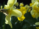 Daffodils IV by weirdandproudofit