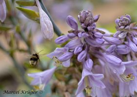 Flying Bee by marschall196