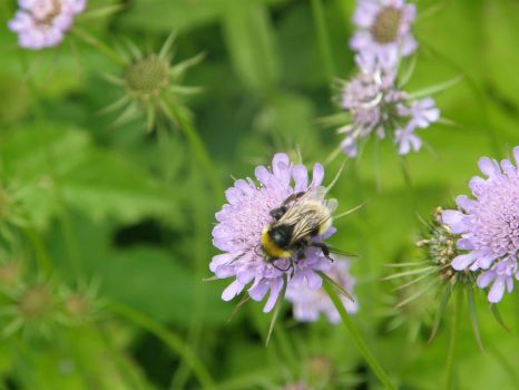 Bee close up at Howick by Miss-Pengywin