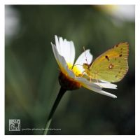 Clouded Yellow by Garelito-Photos