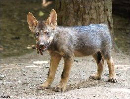 A fox? No, rare wolf pup by woxys