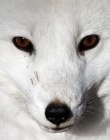 It's in the Eyes: Arctic Fox Full by Jack-13