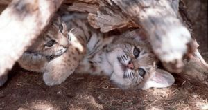 Baby Bobcats playing by Tree0013