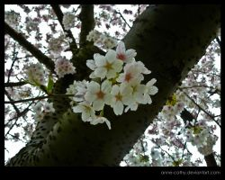 Blossom by Anne-Cathy