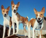 Basenji Austin 69 by 0Encrypted0