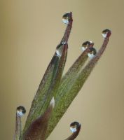 Dew droplets on Dogwood by duggiehoo