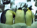 Penguins by jack13