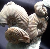 Pyritized Ammonite Cluster by Mountaineer47