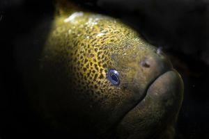 Giant moray by carettacaretta