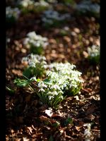 First Snow Drops of 2008 II by GMCPhotographics