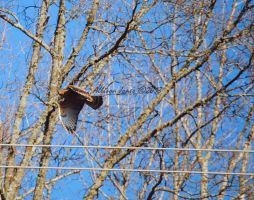 Red-Shouldered Hawk 2. by TheZoMbieMoshPiT