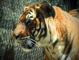 Sita Tiger 1 by HDevers
