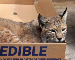 Bobcat In a Box by Jack-13
