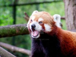 red panda yawning by tar0t