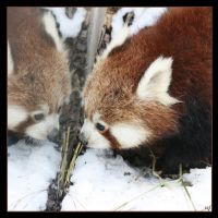 Little Red Panda by Globaludodesign