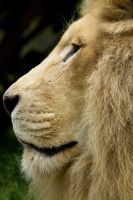d1215 - White Lion by Jay-Co