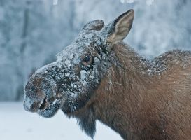 Snow on Moose by Occamsrasr