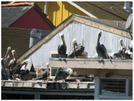 Pelicans by LaughingSquid
