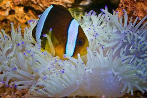clown fish and anemone by mikebass