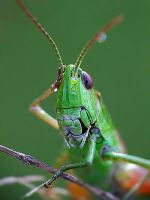 grasshopper facepalm by efeline