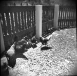 Film picture 12: chickens by SquishyPandaPower