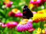 Butterfly on a flower by Chocho-Takeda