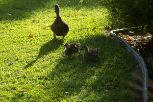 Mama and Baby Ducks by Camel51