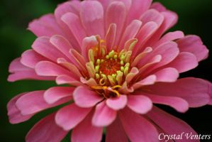 Pink Zinnia 5 by poetcrystaldawn