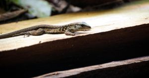 Jungle Skink by lynsea