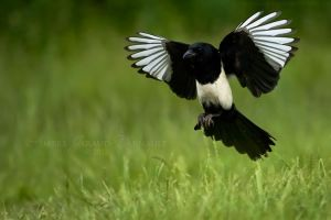 Magpie In Flight I by darkcalypso