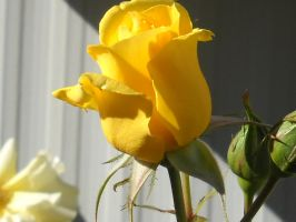 Ready to bloom Yellow rose by nnf247