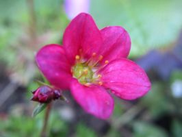 Saxifrage flower by dtw42