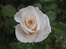 Rose 030315 04 by acurmudgeon