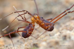 Mating Harvestman by melvynyeo
