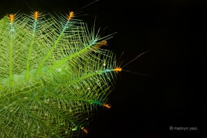 Malay viscount caterpillar by melvynyeo