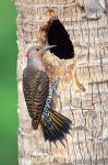 Northern Flicker by juddpatterson