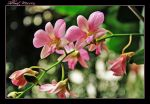 Orchids 11 by ShlomitMessica
