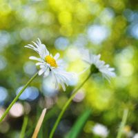 Daisies IV by Justysiak