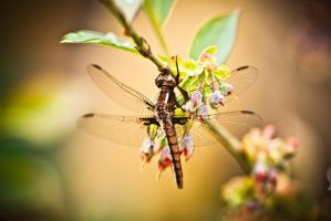 Dragonfly 3 by juhitsome