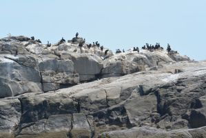 On the Rocks, Cormorants Gathered by Miss-Tbones