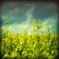 Rapeseed Field by DREAMCA7CHER
