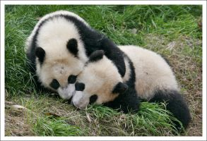 Pandas - 6479 by eight-eight