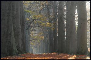 A lane of really big trees by jchanders
