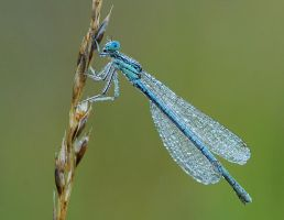 damselfly in dew by dralik