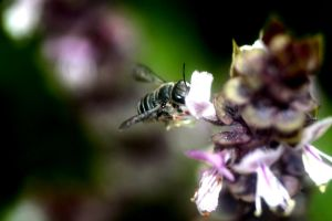 Bee in Basil II by foquinha156