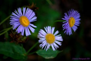 Last Fall's Asters by Corvidae65